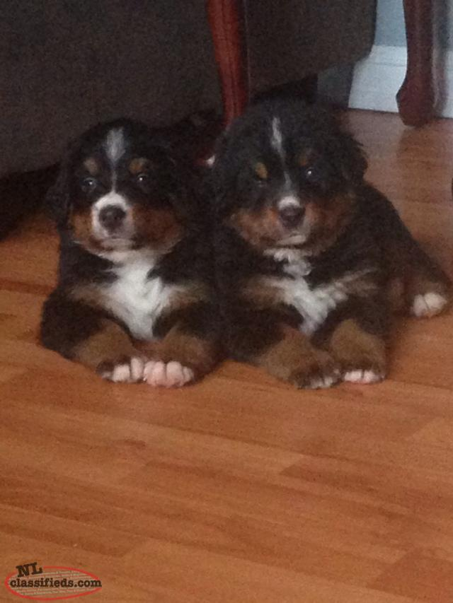 Nl Classifieds Dogs For Sale