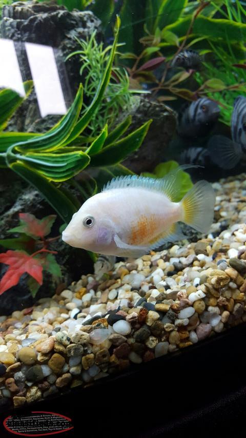 Convict cichlid fish for sale mt pearl newfoundland for Cichlid fish for sale